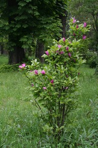 1. Magnolia-like shrub