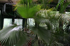 7. Washingtonia filifera