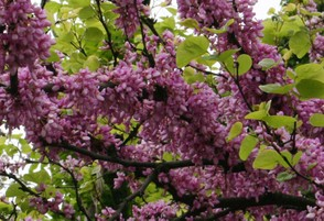 3. Redbud close-up