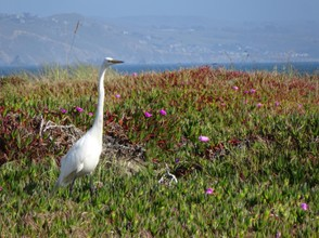 Egret in Bodega Bay