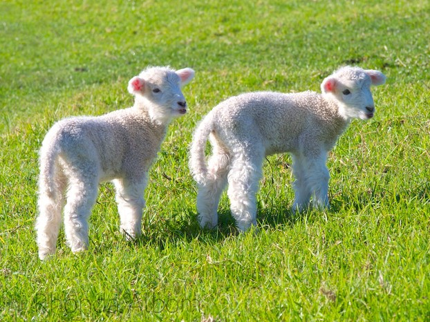 Adorable Spring Lambs in an Auckland Park