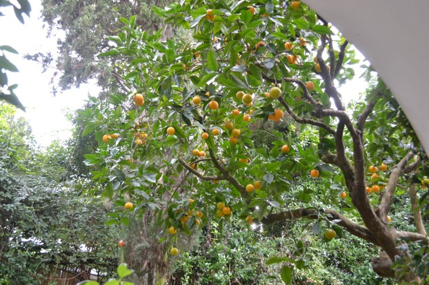 Citrus trees laden with fruit in the gardens of Villa San Michele.