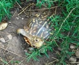 Dylan, Jimi's box turtle pal