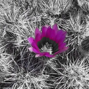 Cactus in Black and White with Purple Filter