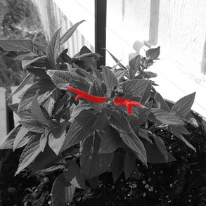 Sage in Black and White with Red Filter