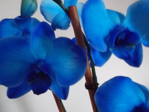 Blue Mystique Orchid using Flower Function