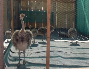 Young Ostrich in the Pen