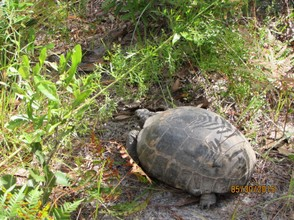An endangered Gopher Tortoise makes his way through the brush.