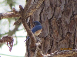 Bluebirds are often seen here.