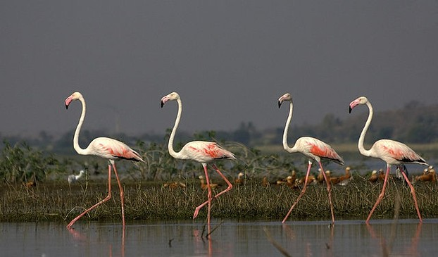 Greater Flamingos in India