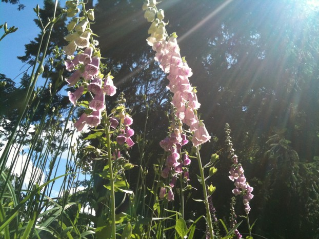 Foxgloves in the sunshine