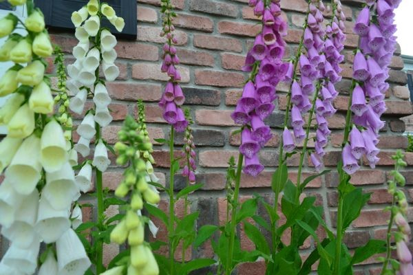 Foxglove come in a variety of colors