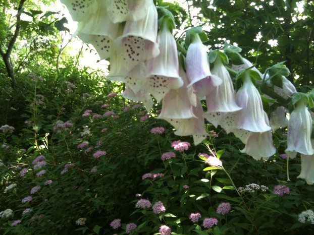Foxglove and spirea are a great late Spring combination