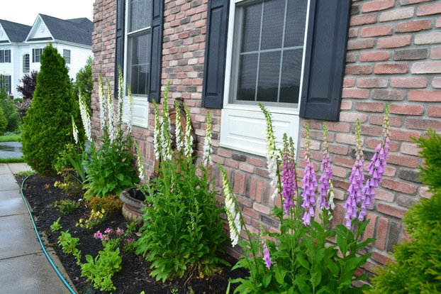 Foxglove in bloom along the front of my house