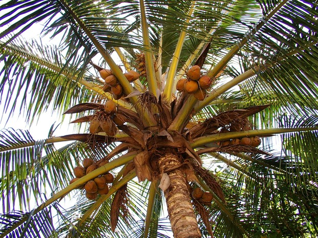 Coconuts Growing in a Coconut Palm