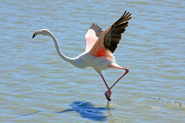 Flamingo Taking Flight