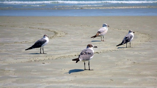 Seagulls on a Florida Beach