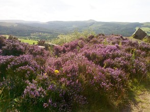 a bank of dark heather