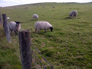 Sheep safely graze