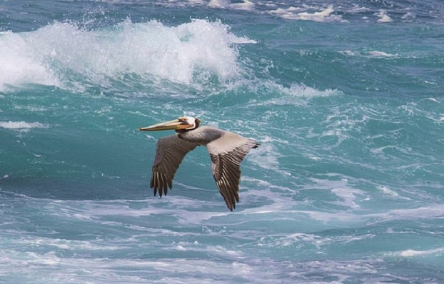 Brown Pelican Over Ocean (cropped)