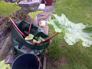 Rhubarb in canvas pots