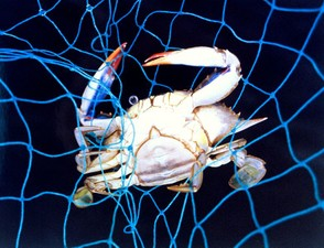Female Blue Crab (Capitol Dome)