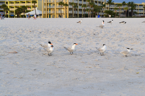You'll find lots of coastal birds on the beach here in St. Petersburg