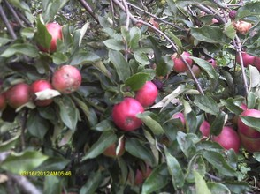 Apples are rich and abundant