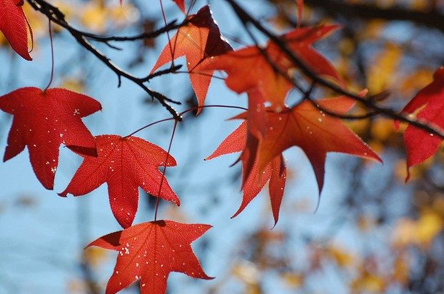 Pretty Sweet Gum Leaves in Autumn