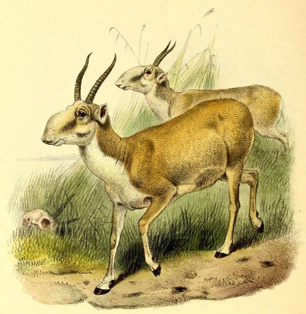 P.L. Sclater and Oldfield Thomas, The Book of Antelopes, Vol. III (1897-1898), Pl. XLIX, opp. p. 31
