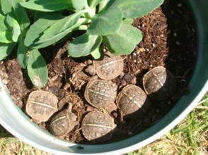 Baby Box Turtles in a Flower Pot