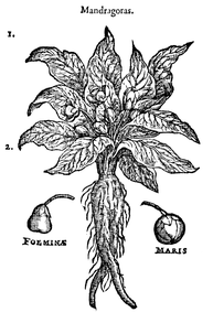 Mandrake illustration