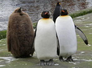King Penguin family at Edinburgh Zoo