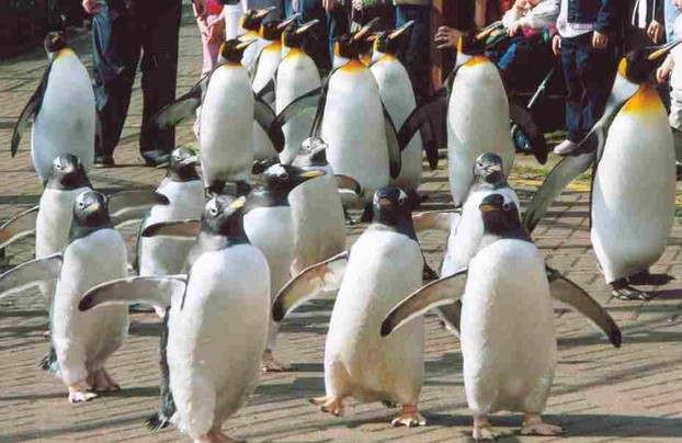 Penguin Parade at Edinburgh Zoo