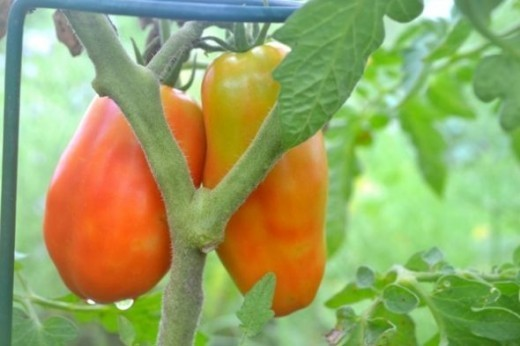 San Marzano tomatoes ripening on the vine.