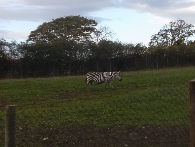 There is a huge zebra field