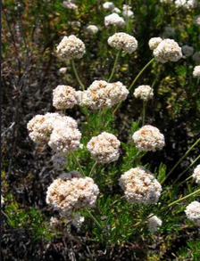 Edible California Buckwheat