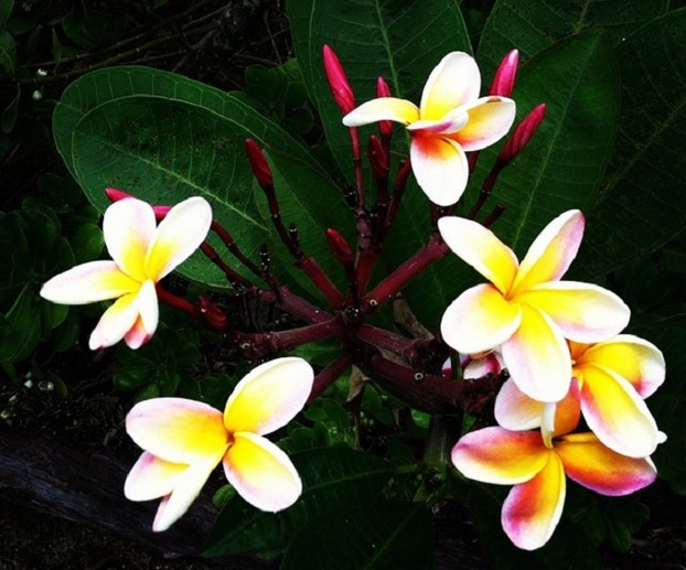 Tropical Plumeria Flowers