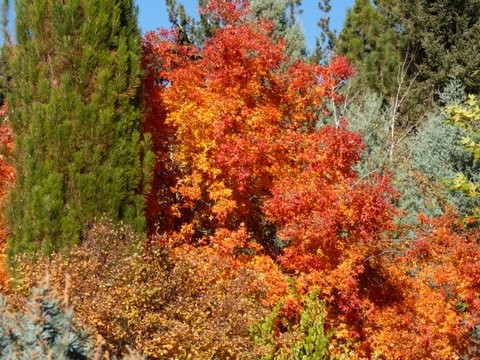Flaming Orange Bush