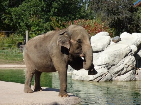 Dolly Asian Elephant Performs