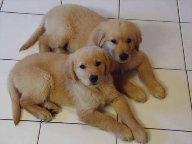 buying a golden retriever how to buy a golden retriever puppy 3266