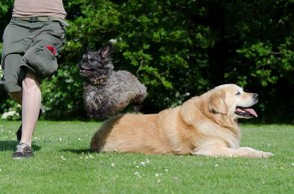 golden-retriever-and-another-dog