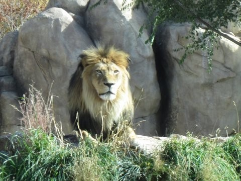 King of Beasts Raja Lion at Denver Zoo