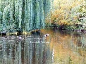 Weeping Willow By Lake