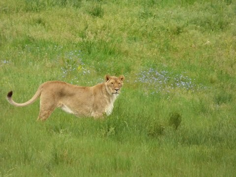 Female African Lion in the Wildflowers