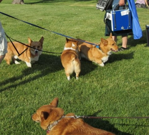 A Convention of Corgis in the Park