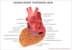 Learning about the anatomy of the human heart is a positive step