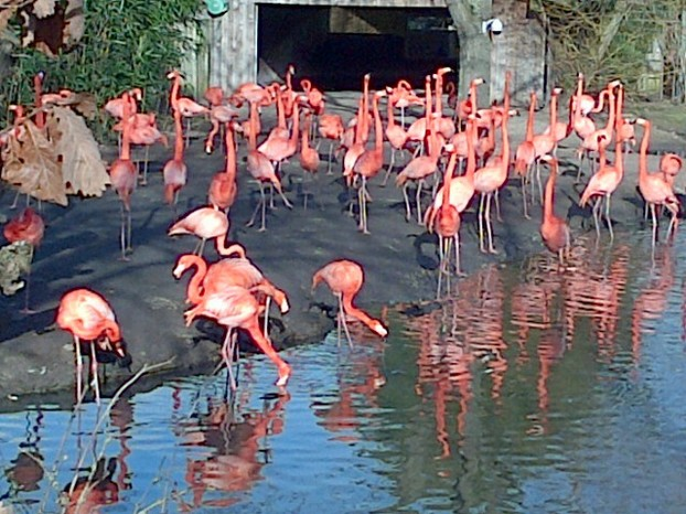 Carribean flamingoes