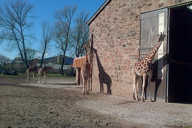 GIraffes of all sizes