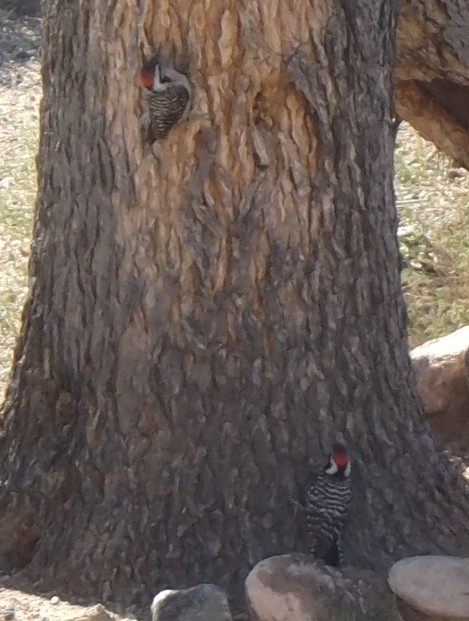 Ladderback Woodpeckers